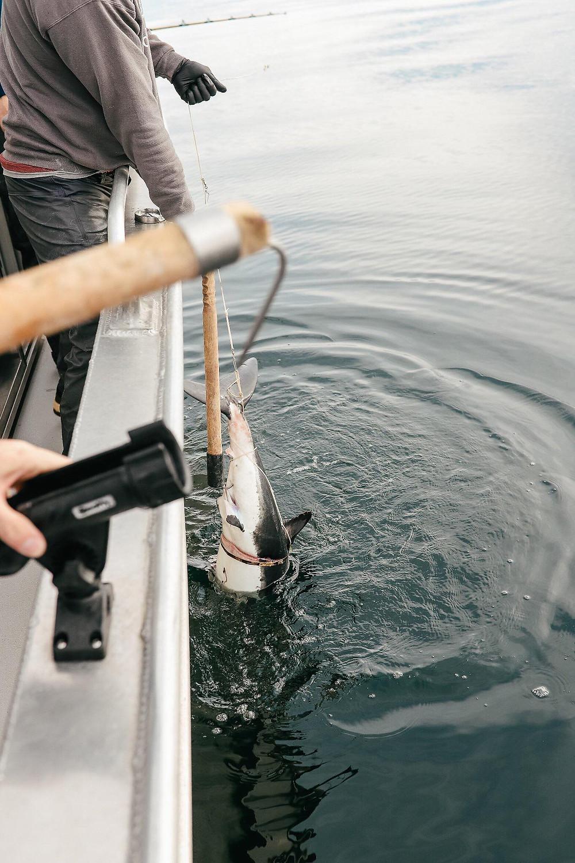 salmon shark fishing alaska