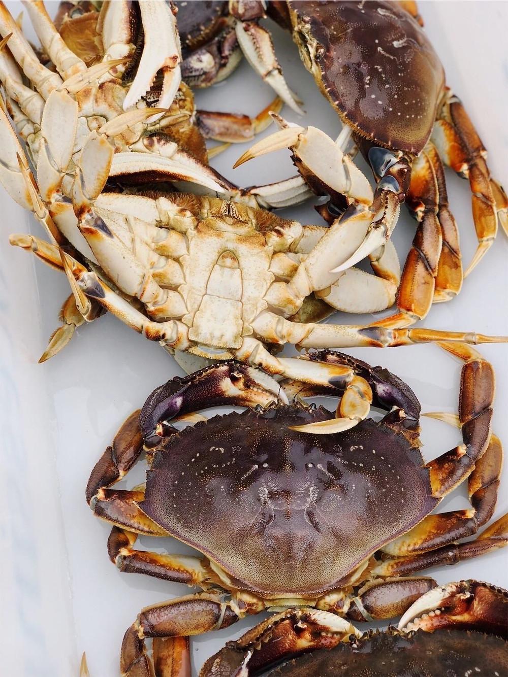 dungeness crab in sitka alaska