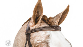 Stallion Protocole Moonlight Sport Horses