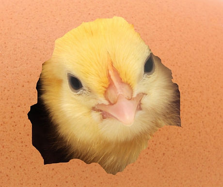 chicken%2520coming%2520out%2520of%2520a%2520brown%2520egg_edited_edited.jpg