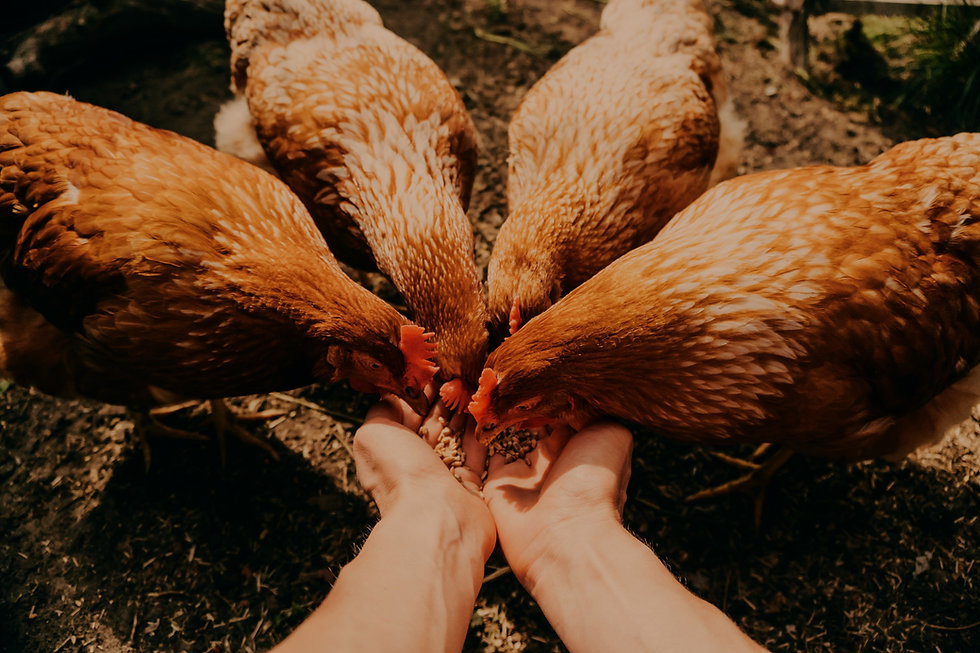 POV%20image%20of%20female%20hands%20feeding%20red%20hens%20with%20grain%2C%20poultry%20farming%20con