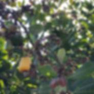 Cashew Tree.jpg