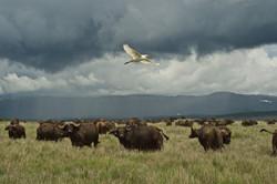 Buffalo Herd With Egret