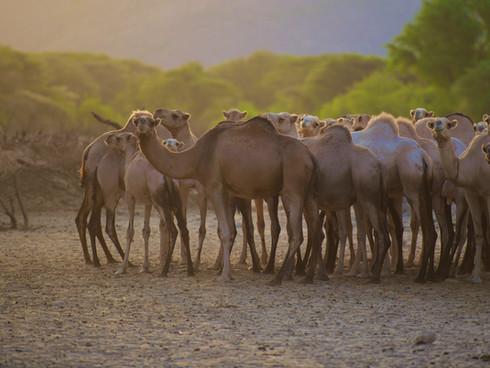 SOUTH HORR CAMELS