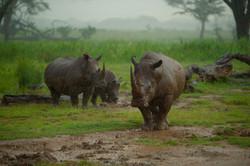 Wet Rhinos