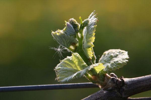 grapevine-3343866_640.jpg