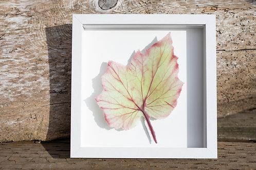 Glass Begonia Leaf