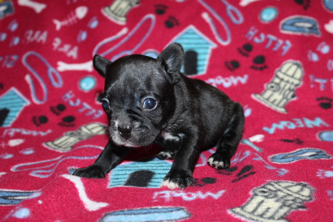 French-Bulldog-puppy-Bella (32).JPG
