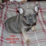 french%20bulldog%20puppy%20for%20sale%20