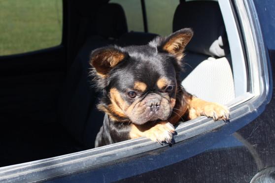 French-bulldog-fluffy-Toto-kansas (6).JPG