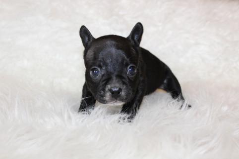 french bulldog puppy for sale near me kansas city Bella (9).JPG