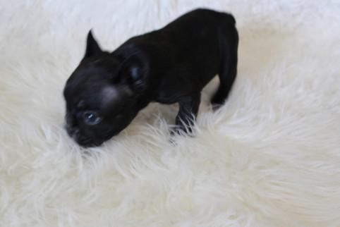 french bulldog puppy for sale near me kansas city Bella (3).JPG