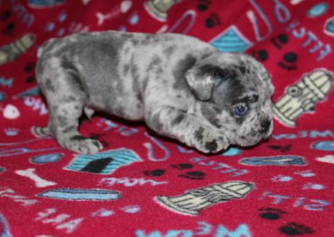 French-Bulldog-puppy-Max (11).JPG