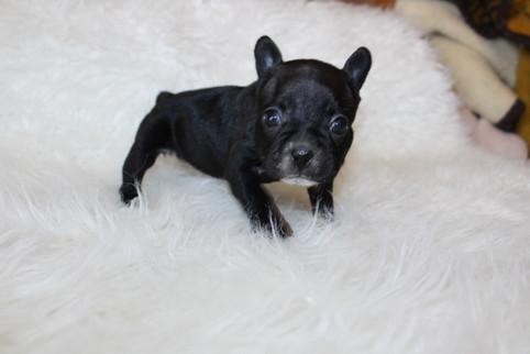 french bulldog puppy for sale near me kansas city Bella (25).JPG
