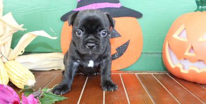 fluffy french bulldog puppy for sale in kansas Shadow A (50).JPG