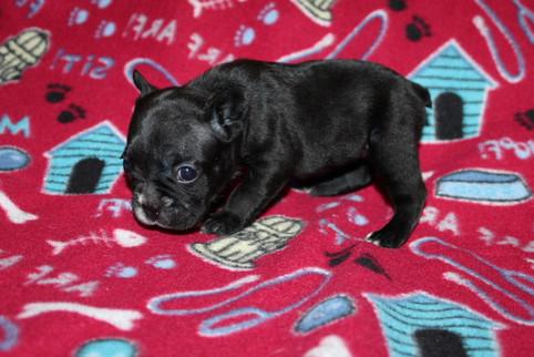 French-Bulldog-puppy-Bella (7).JPG