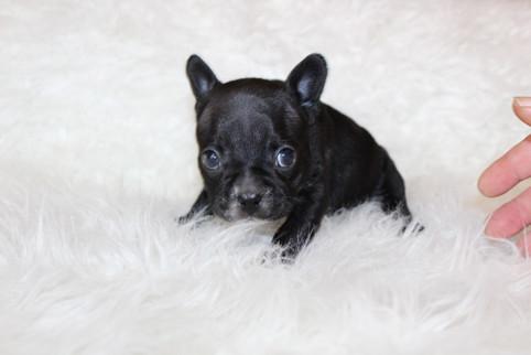french bulldog puppy for sale near me kansas city Bella (8).JPG