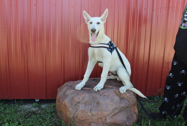 German Shepherd Puppy For Sale Near kansas city Loki (28).JPG