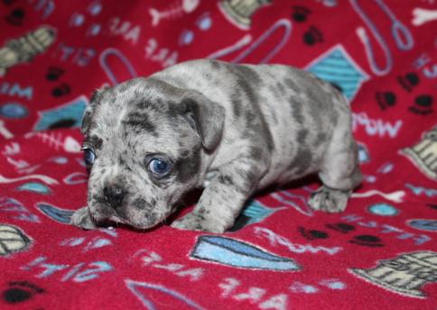 French-Bulldog-puppy-Max (8).JPG
