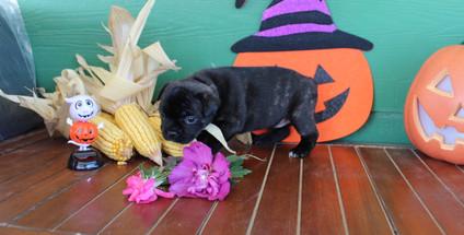 fluffy french bulldog puppy for sale in kansas Shadow A (6).JPG