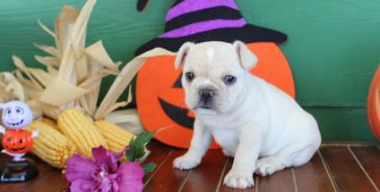 fluffy french bulldog puppy for sale in kansas Lula A (28).JPG