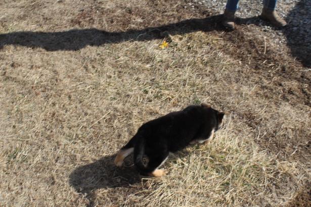 German Shepherd Puppy Buddy