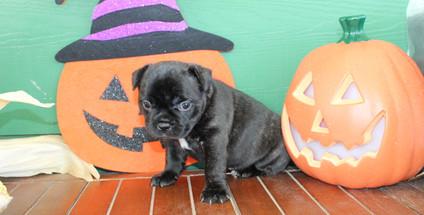 fluffy french bulldog puppy for sale in kansas Shadow A (57).JPG