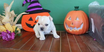 fluffy french bulldog puppy for sale in kansas Lula A (41).JPG
