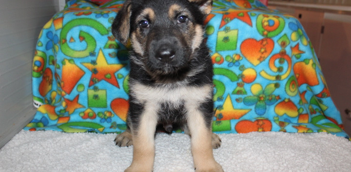 German Shepherd Puppy Ace for you