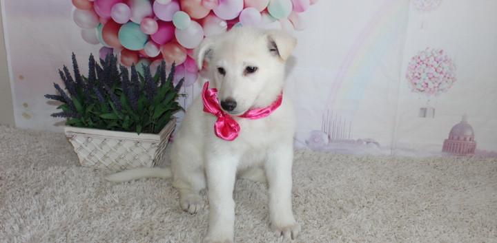 German Shepherd Puppy For Sale kansas c