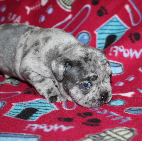 French-Bulldog-puppy-Max (3).JPG
