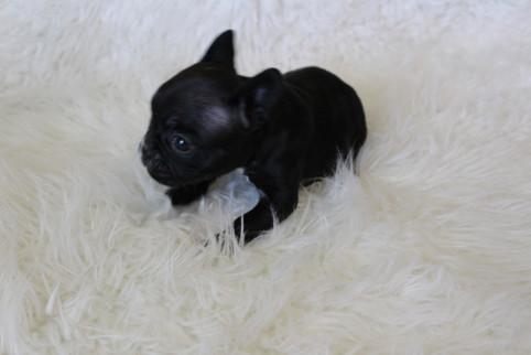 french bulldog puppy for sale near me kansas city Bella (5).JPG