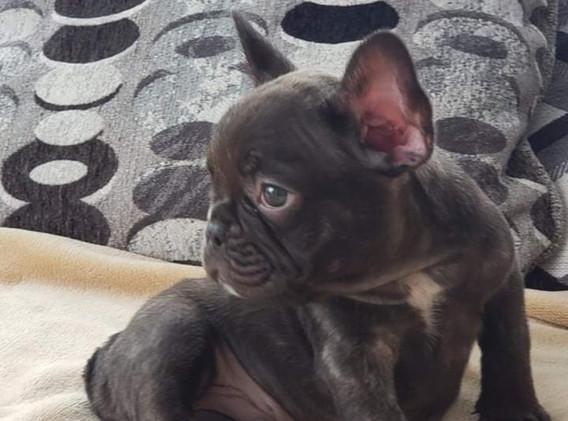 Chocolate french bulldog puppy for sale near me in  kansas name Hershey (3).jpg