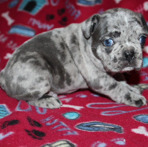 French-Bulldog-puppy-Max (20).JPG