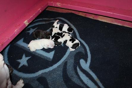Bell-Merle-puppies-2-9-2021-4.jpg