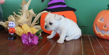 fluffy french bulldog puppy for sale in kansas Lula A (23).JPG