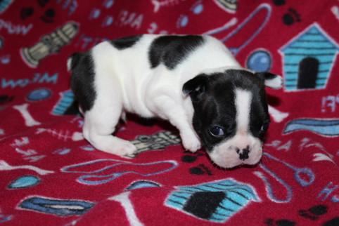 French-Bulldog-puppy-Dax (8).JPG