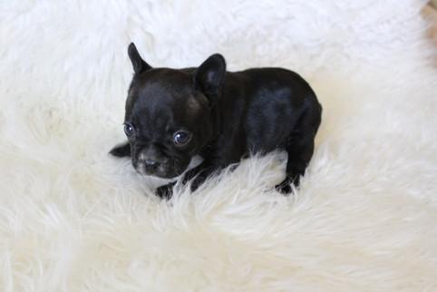 french bulldog puppy for sale near me kansas city Bella (2).JPG