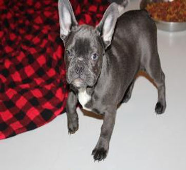 HammerTime-Blue-Gauger-french-bulldog-me
