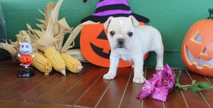 fluffy french bulldog puppy for sale in kansas Lula A (11).JPG