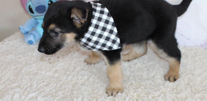 German Shepherd Puppy For Sale kansas ci