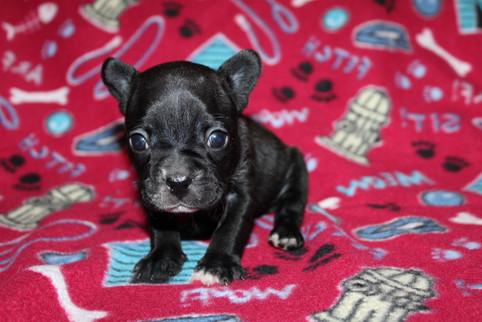French-Bulldog-puppy-Bella (34).JPG