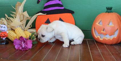 fluffy french bulldog puppy for sale in kansas Lula A (15).JPG