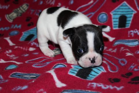 French-Bulldog-puppy-Dax (9).JPG