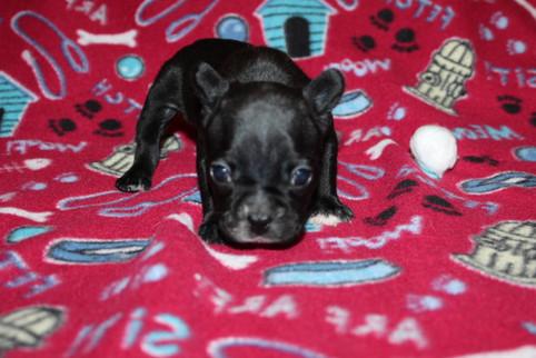 French-Bulldog-puppy-Bella (20).JPG