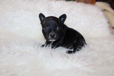 french bulldog puppy for sale near me kansas city Bella (17).JPG