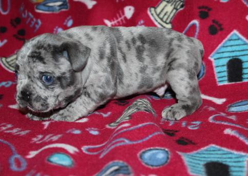 French-Bulldog-puppy-Max (17).JPG