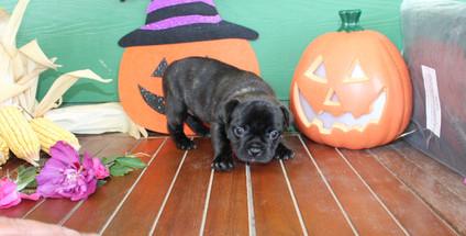 fluffy french bulldog puppy for sale in kansas Shadow A (11).JPG