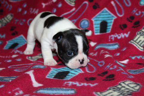 French-Bulldog-puppy-Dax (16).JPG