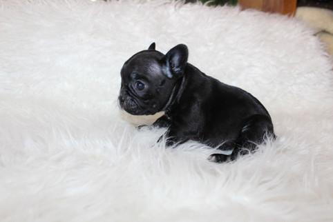 french bulldog puppy for sale near me kansas city Bella (14).JPG